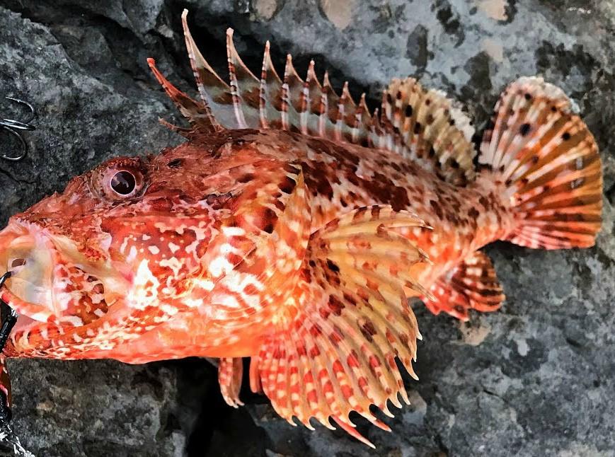 Рыбалка в Алуште, скорпена (морской ерш)